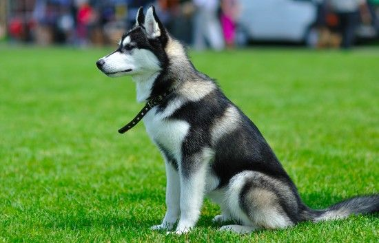 Siberian Husky Colours And Commonly Confused Breeds Pets4homes