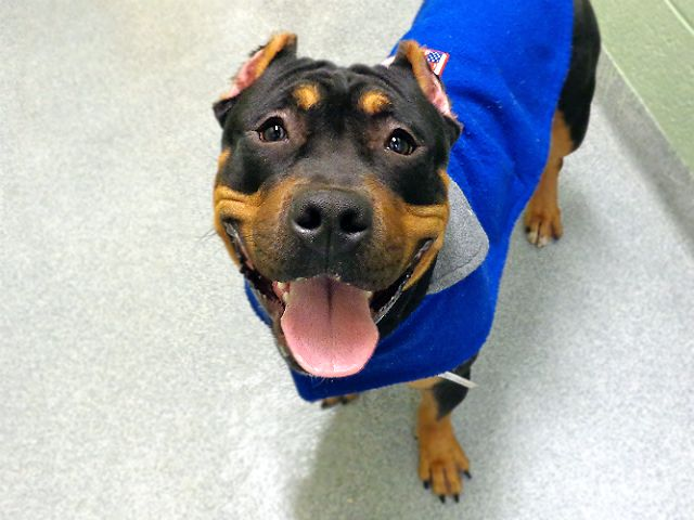 Bane A1099399 Manhattan Please Share To Be Destroyed 12 28 16 A Volunteer Writes Don T Let His Name And Cropped Ea Dog Adoption Animals Animal Shelter