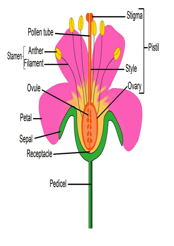 Partes De La Flor En Ingles Para Imprimir Parts Of A Flower Diagram Of A Flower Flower Anatomy