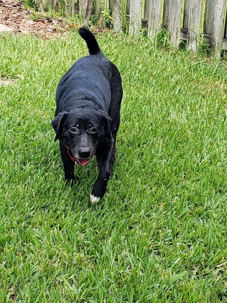 Missy is an adoptable black labrador retriever searching