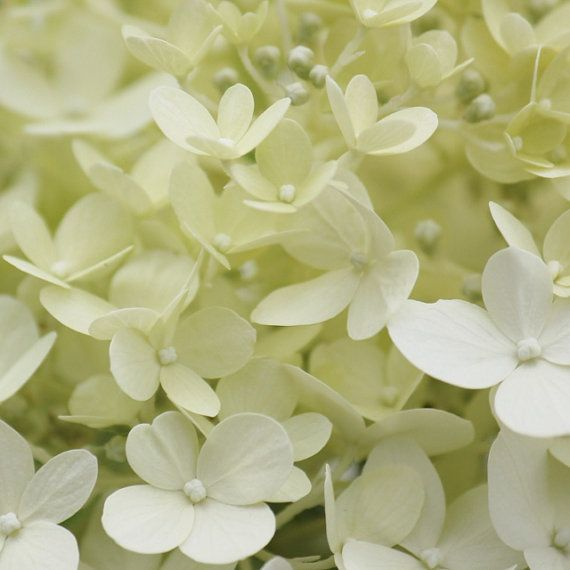 Hydrangea Flower Photography, Hydrangea Art, Shabby Chic White Floral Print