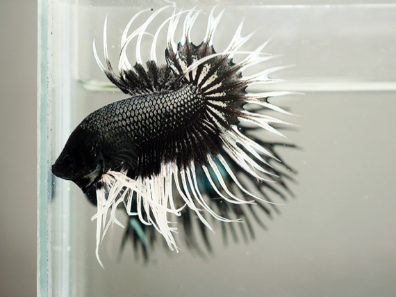 White Dragon King Crown Betta