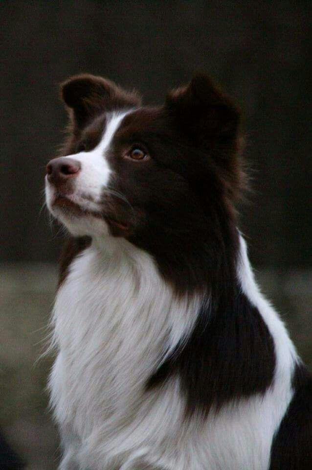 Border Collie Collie Dog Purebred Dogs Herding Dogs