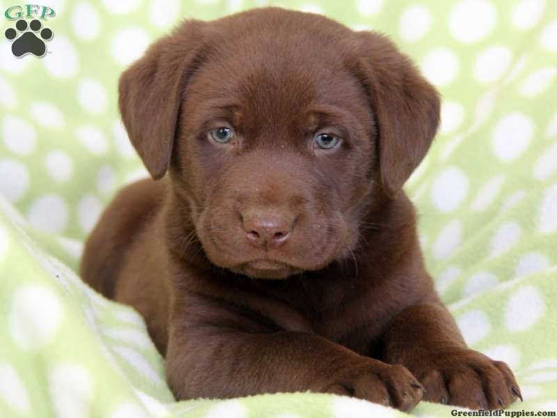 Fuddy, Chocolate Lab puppy for sale from Paradise, PA