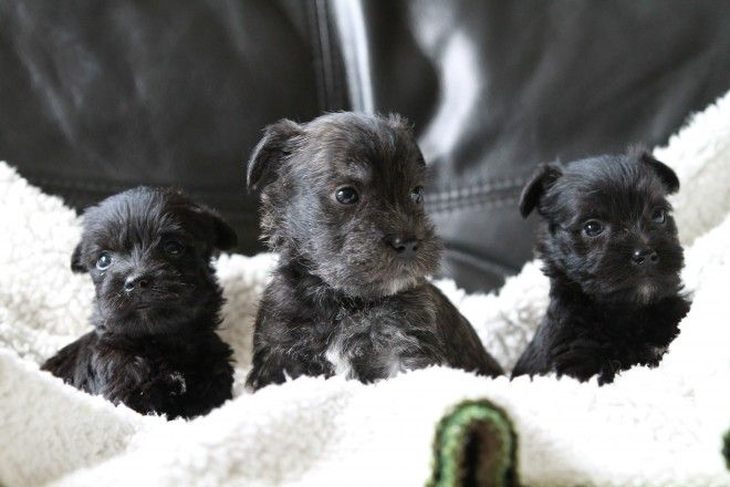 Wauzer Puppies Puppies I Love Dogs Giant Schnauzer