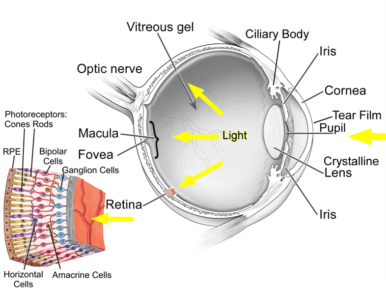 The Human Eye Has Some Pretty Glaring Design Eye Anatomy Physiology Anatomy