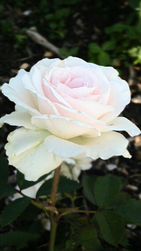 White Rose W Light Pink Center Morning Flowers Rose Flower Different Types Of Flowers