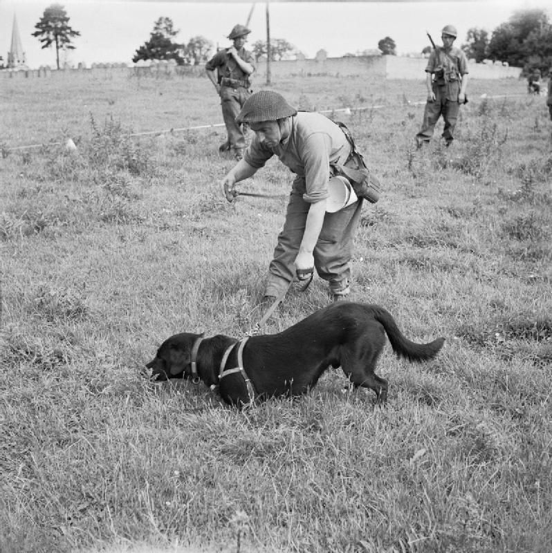 'Bobs', a Labrador, serving with No 1 Dog Platoon of the Royal Engineers, locates a buried mine at Bayeux, France.