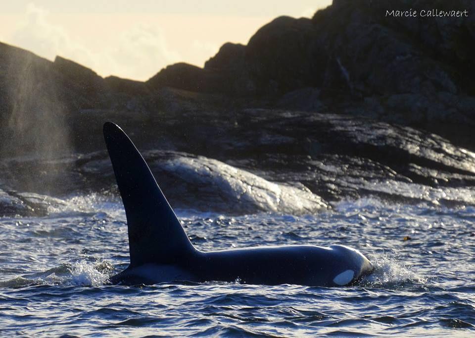 Victoria Marine Science Association | Orque