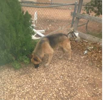 Three Found Dogs Apple Valley Ca Posted On Craigslist 8 4 14 Found Three Lost Dogs In Apple Black Australian Shepherd German Shepherd Colors Losing A Dog