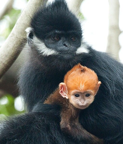 A Francois Leaf Monkey Infant Named Nuoc Is Pictured With Its Mother At The Taronga Zoo In Australia The Youngster Was Baby Animals Animals Cute Baby Animals