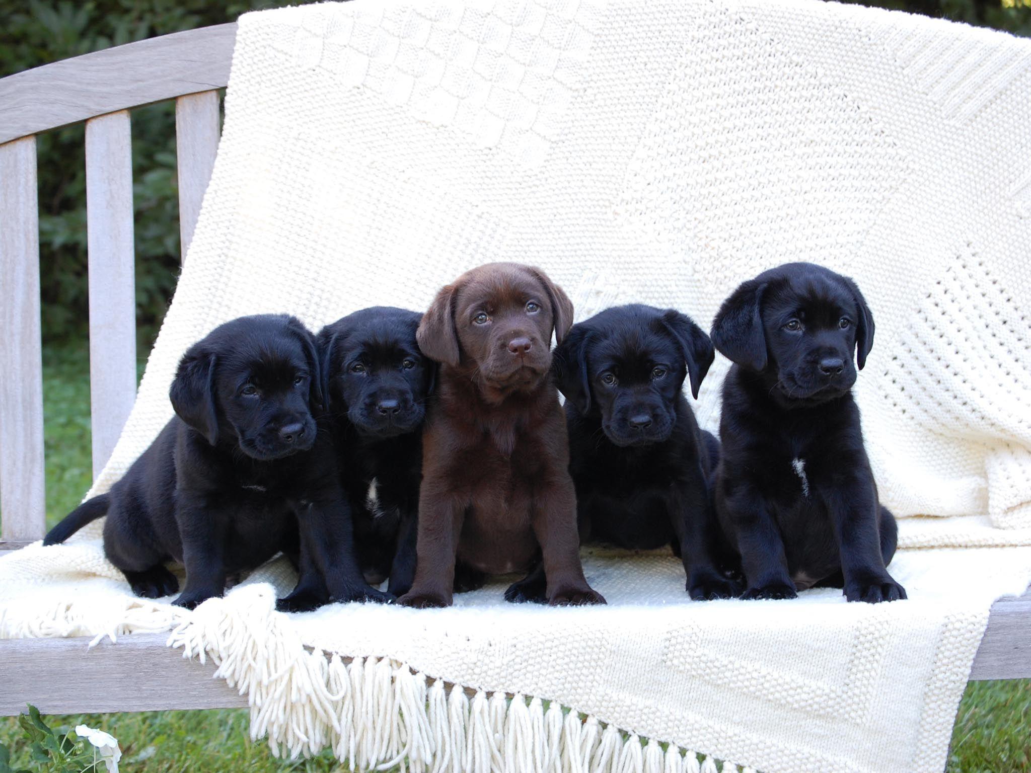 Cute Black Lab Puppies 141 Jpg 2048 1536 Black Labrador Puppy
