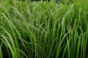 Citronella grass, good #plants to keep flying insects away. http://www.houseplant411.com/askjudy/plants-that-repel-insects