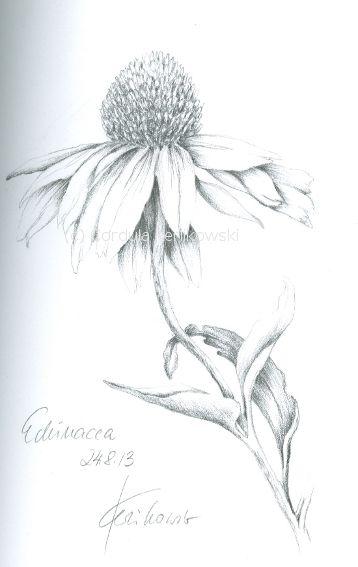 Echinacea Pencil On Paper C Cordula Kerlikowski Flower Line Drawings Line Art Flowers Flower Sketches