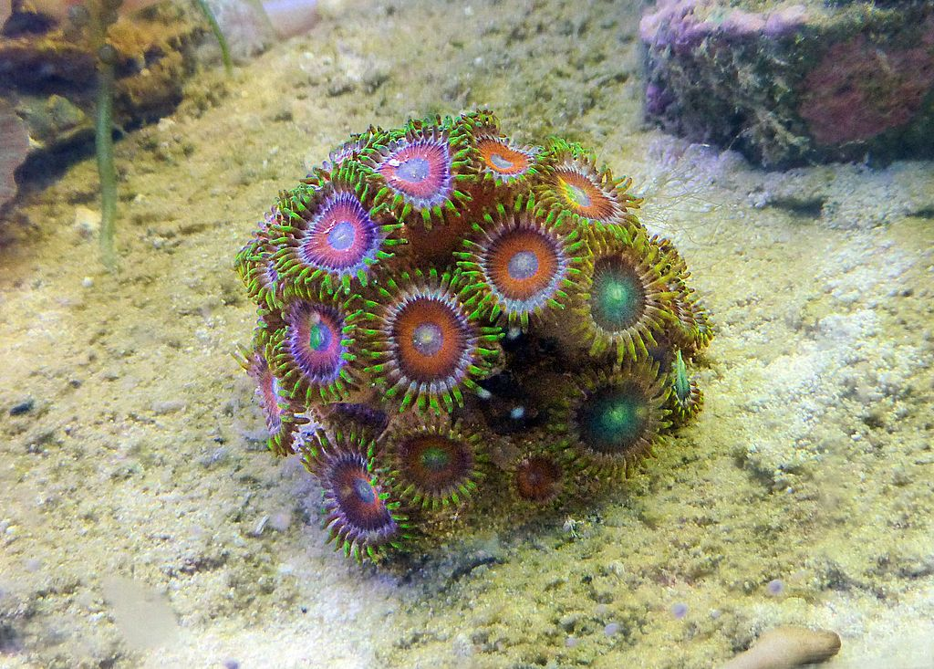 Zoanthus Dragon Eye Zoantharia Wikipedia The Free Encyclopedia Under Water In The Water Reef Aquarium Saltwater Aquarium Marine Aquarium