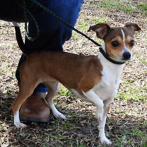 Chiweenie Dog For Adoption In Waco Tx Adn 452663 On Puppyfinder
