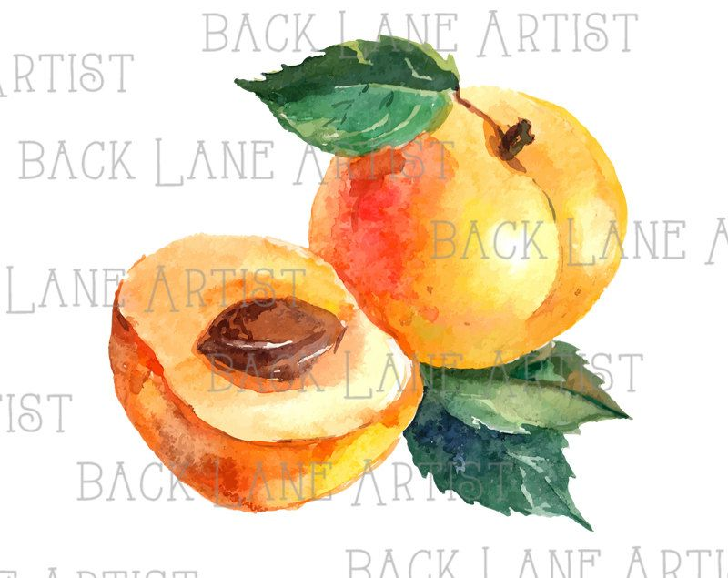 Fruits Apricot Watercolor Drawing Clipart Lineart Illustration