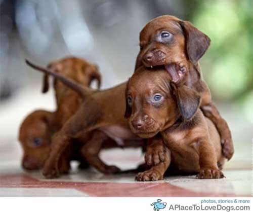 ♥ i want one ,,Please Santa bring me a dashound puppy !! I know it is only April, but i still want one..