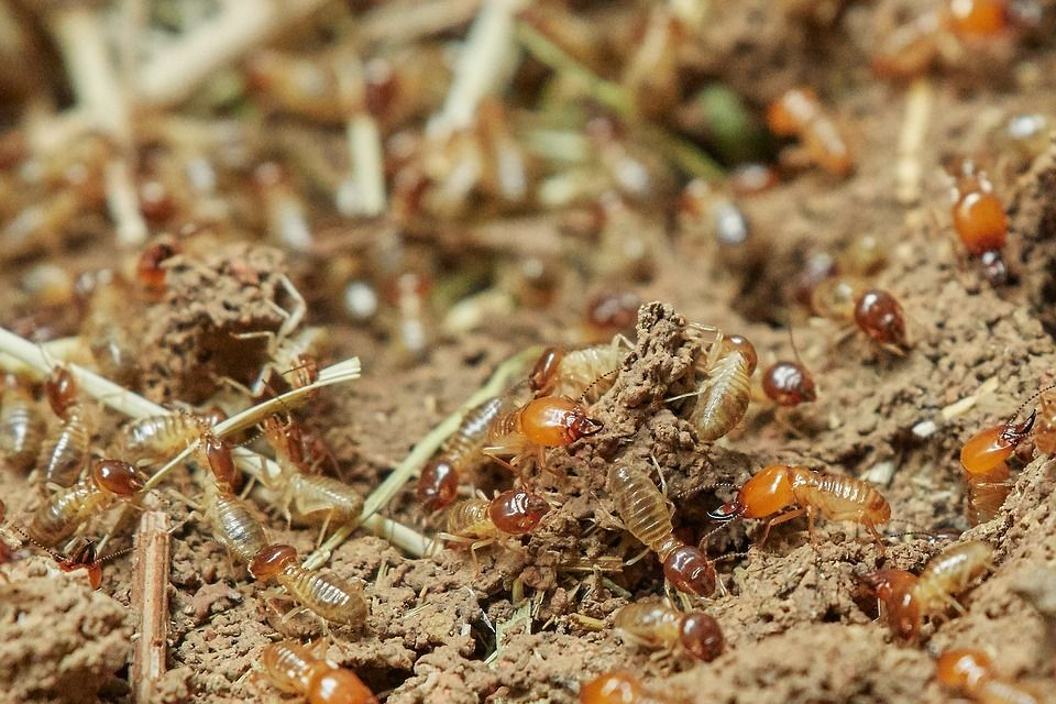 Tips to Spot Termites and Prevent Infestation Seacoast