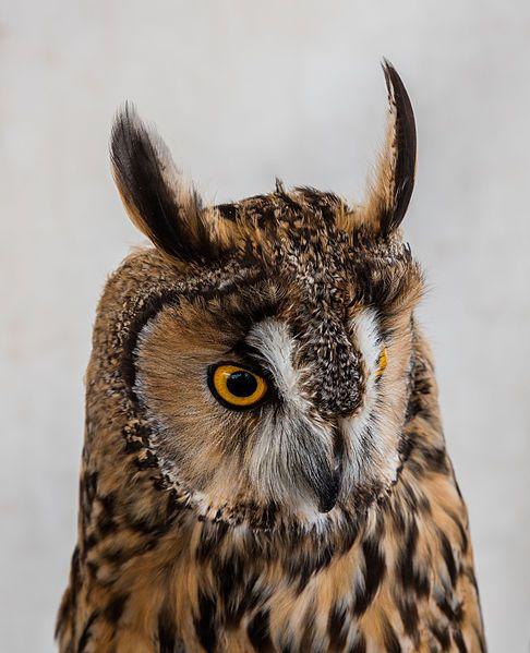 Eurasian eagle owl (Bubo bubo), Arcos de la Frontera, Cádiz, España, 2015-12-08