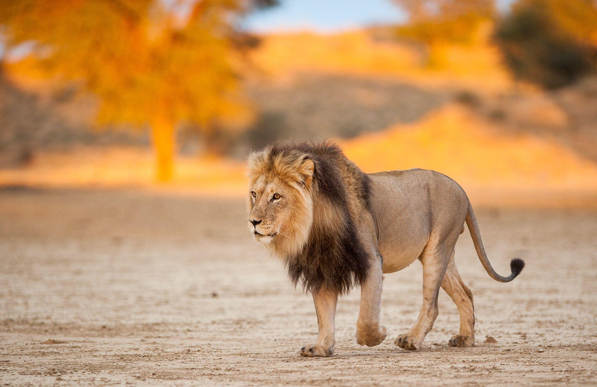 Photograph Kgalagadi Lion at sunset by johan barnard on 500px