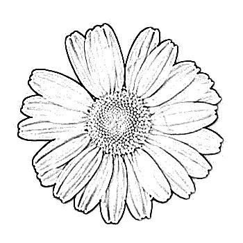 Sketch Of Flower Daisy Drawing