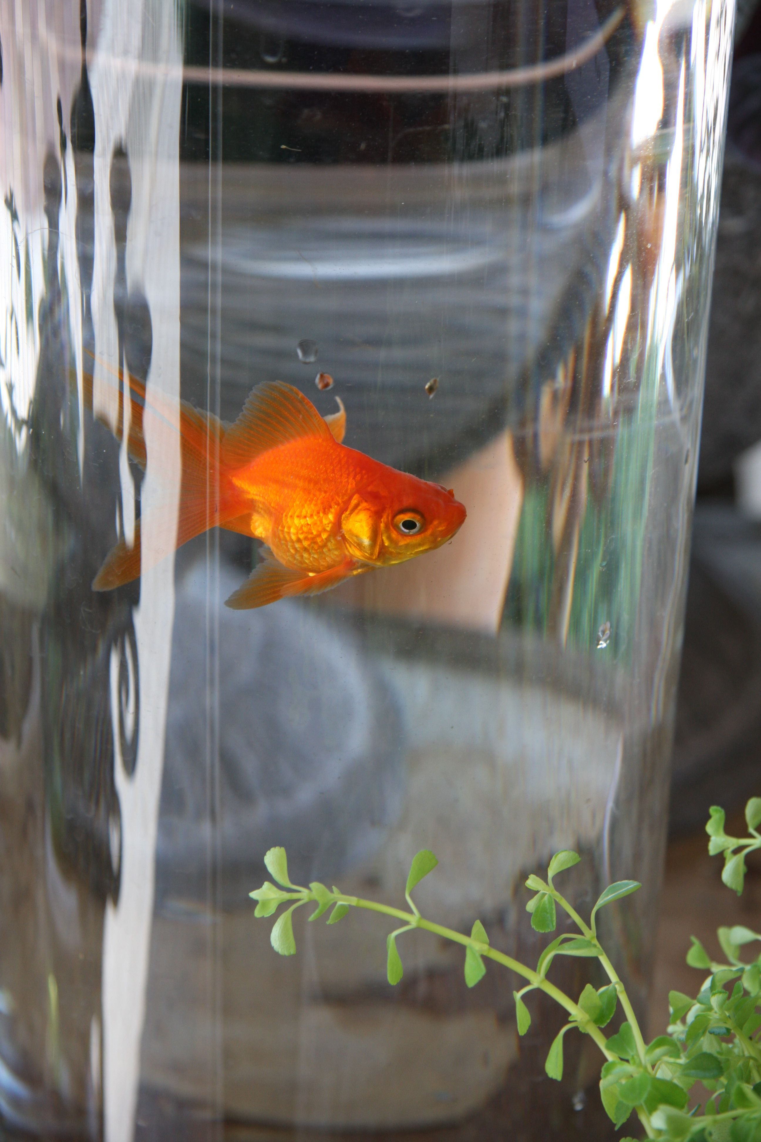 myth gold fish only grow depend the sizes of tank or bowls False