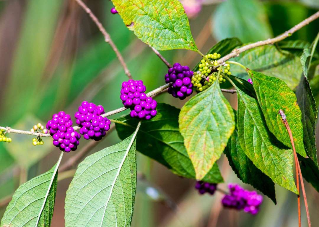 The american beautyberry shrub gives fourseason appeal to your yard