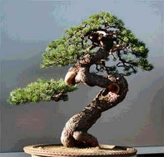 Outdoor Bonsai Can Be Grown In A Small Area Of Your Garden And Some The Most Healthy World Are Pinus Mugo