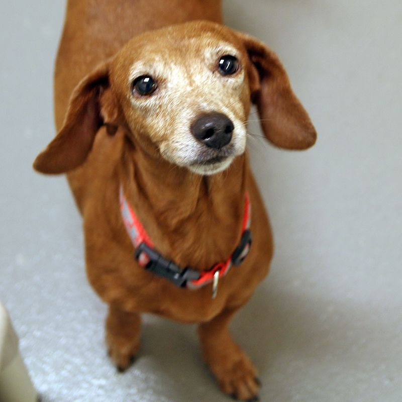 Dutchess - SPCA of Texas (Dallas)