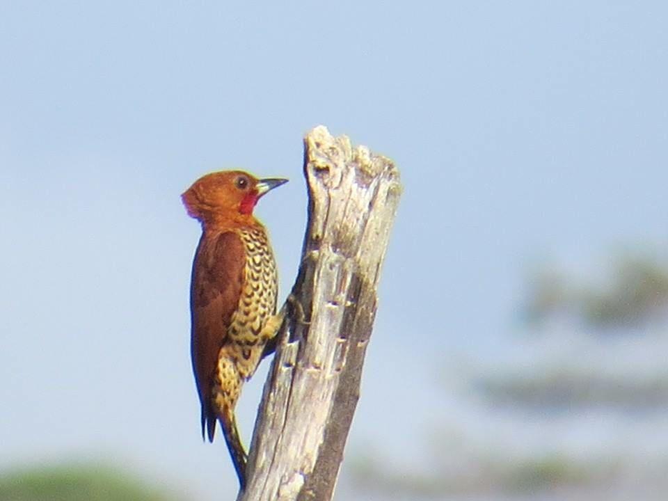 foto de Panama Rainforest Discovery Center Carpintero Canelo Cinnamon Woodpecker Celeus loricatus