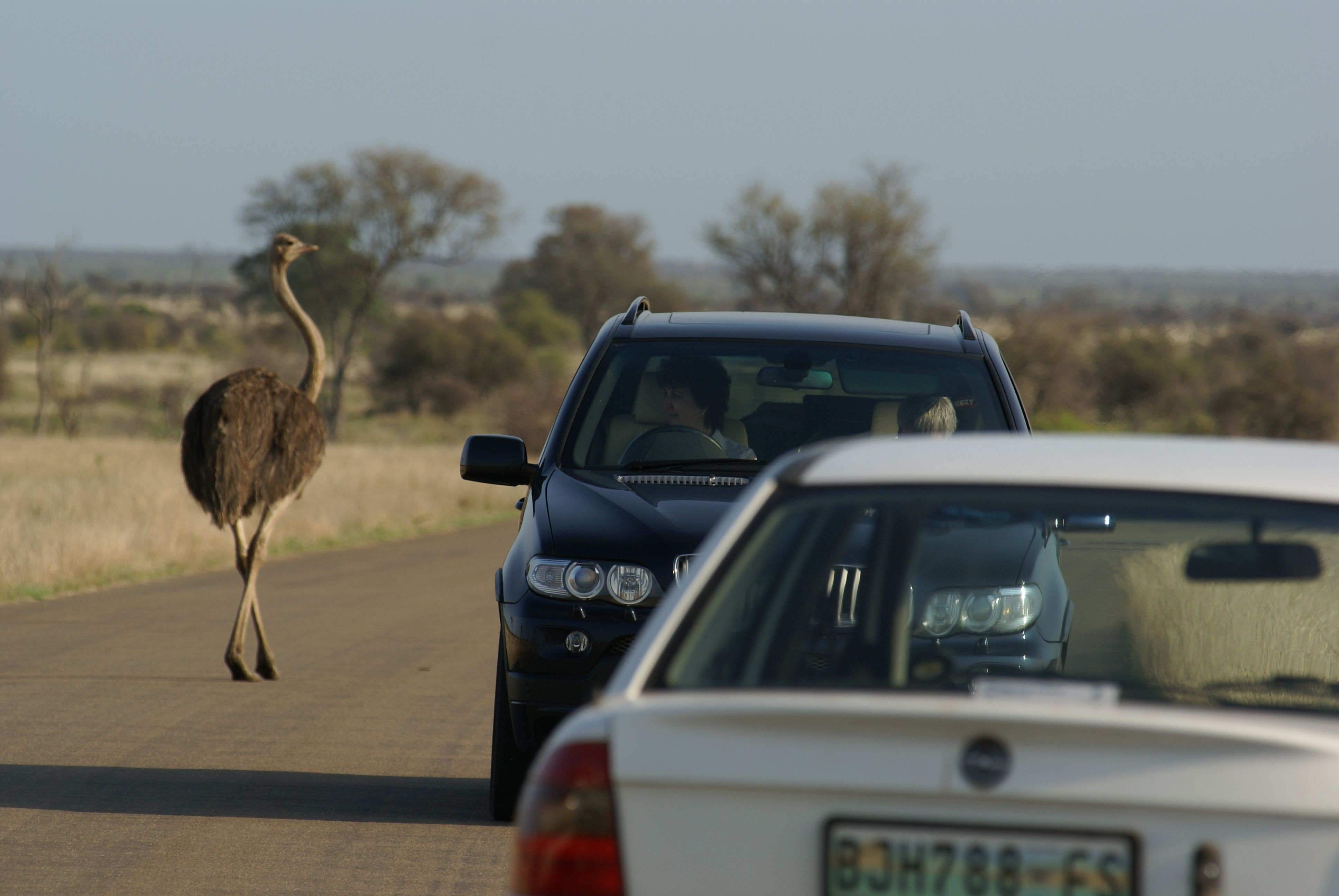 Oct. 12, 2007, Kruger National Park, South Africa. A happy mother orchid, walking through the cars.