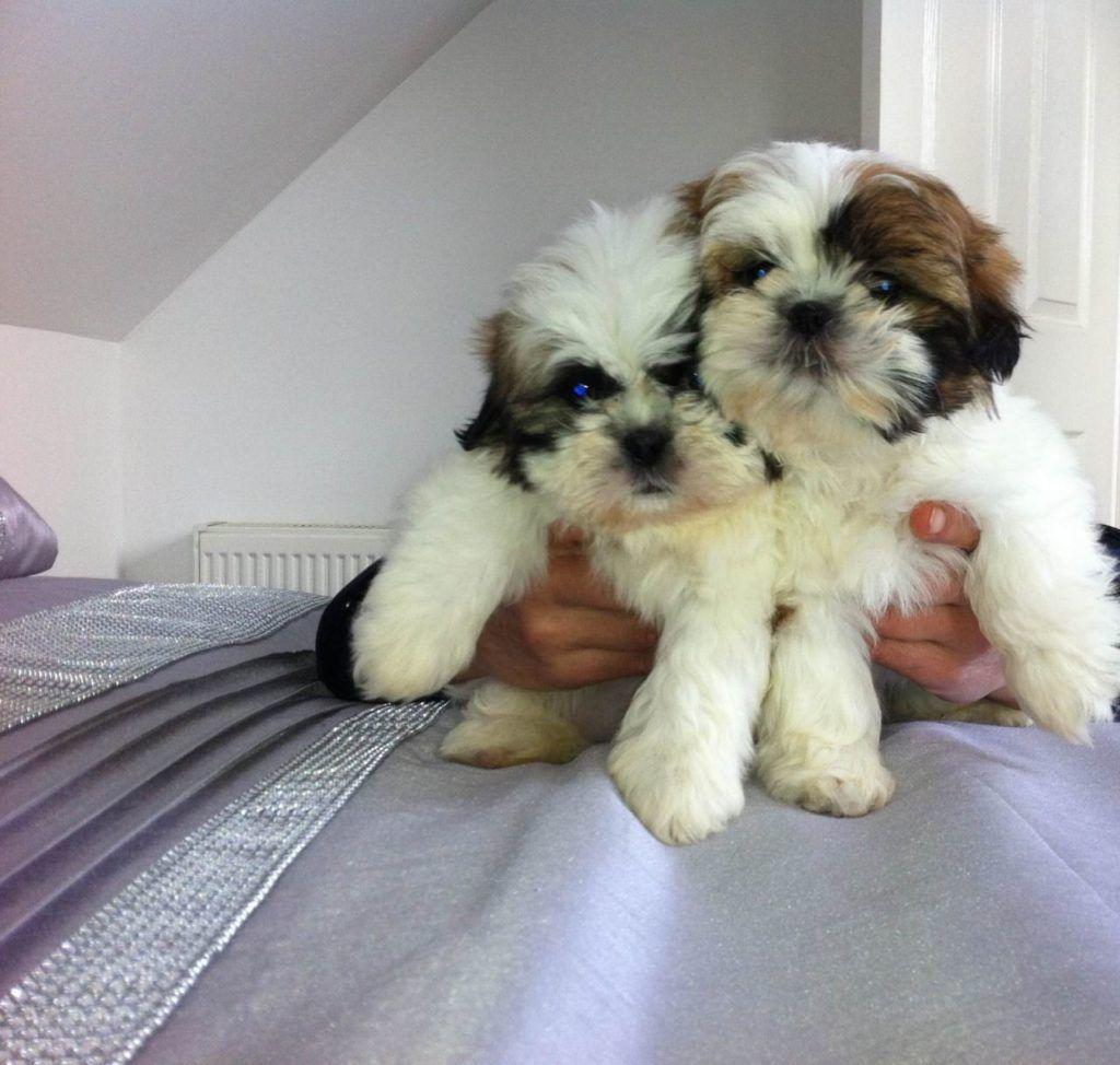 Natural Remedies For Shih Tzu Skin Problems Shih Tzu Puppies