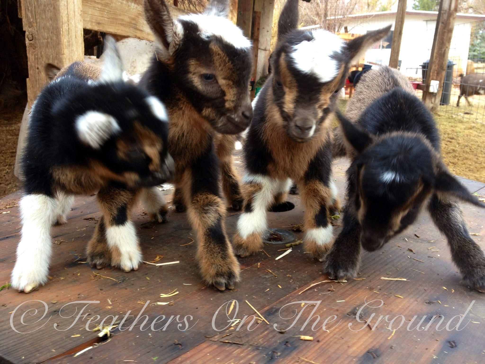 1 day old Nigerian dwarf goat quadruplets Cute goats