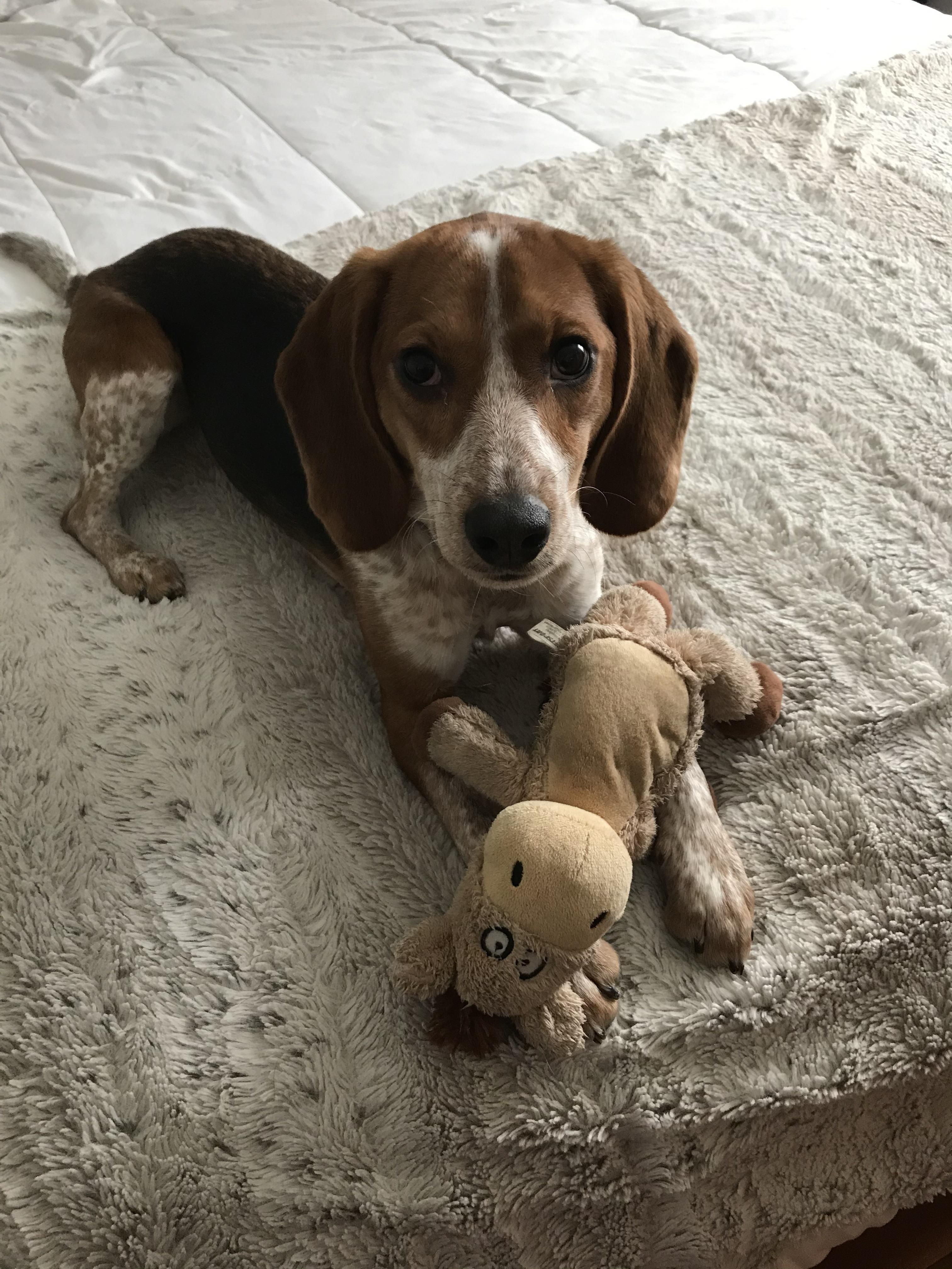 Pin By Rickey Smith On Beagles Dogs Beagle Labrador Retriever
