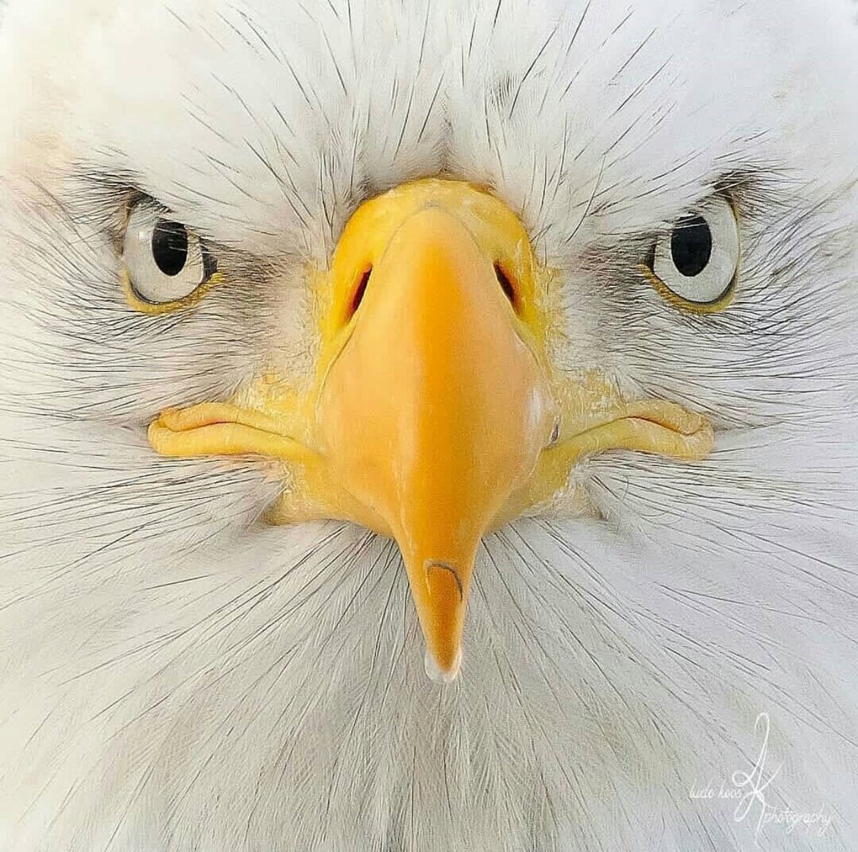 Pin by Katherine McCurrach on Carefree Colors Bald eagle