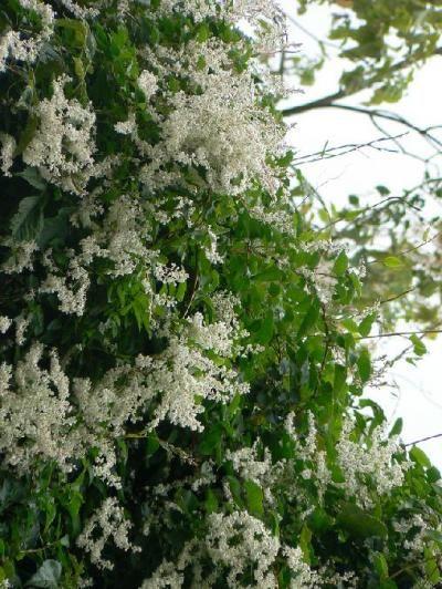 Silverlace Vine Polygonum aubertii shade vine for trellis between
