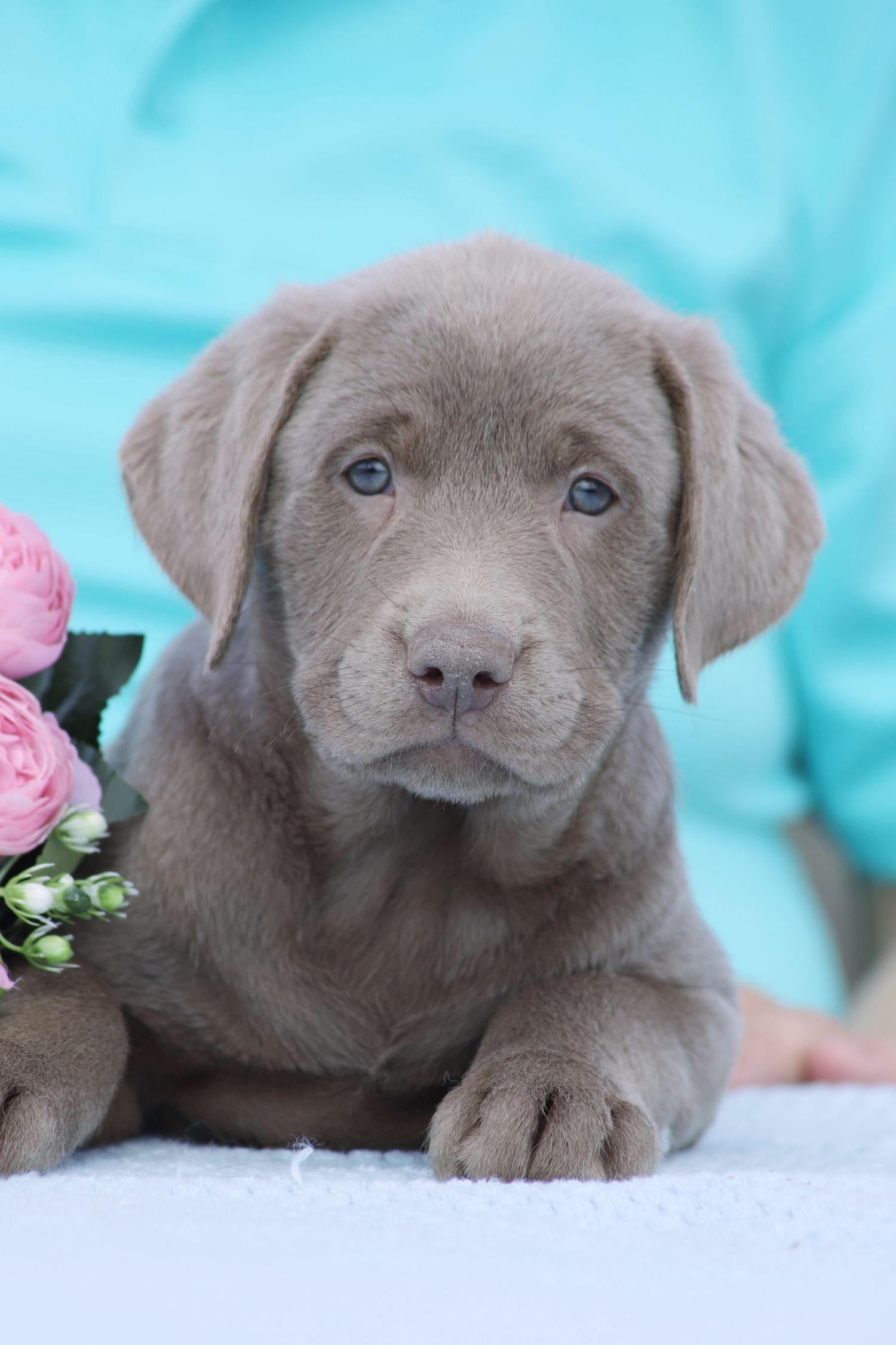 Max Deukc Labrador Retriever Puppy For Sale At Punta Gorda Florida In 2020 Puppies For Sale Labrador Retriever Puppies Puppies