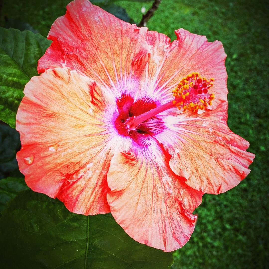 Fiori Hibiscus.Hybiscus Romano Roma Italy Italian Fiori Hibiscus