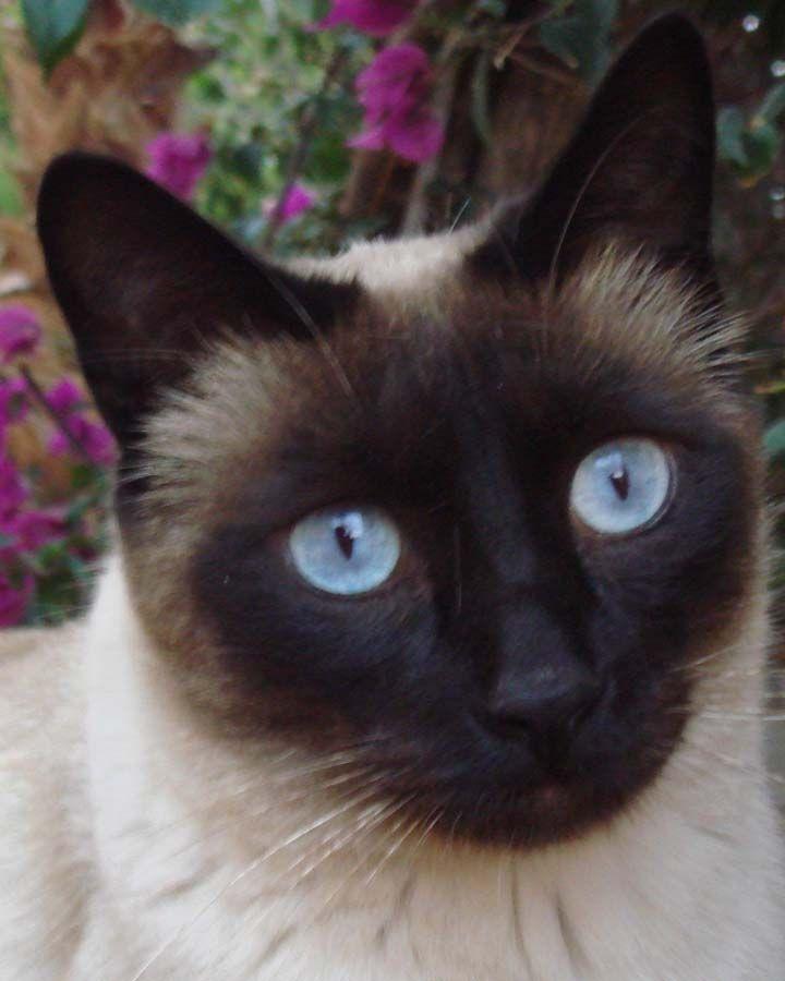 Siamese Cats Siamese Cats Pretty Cats Beautiful Cats