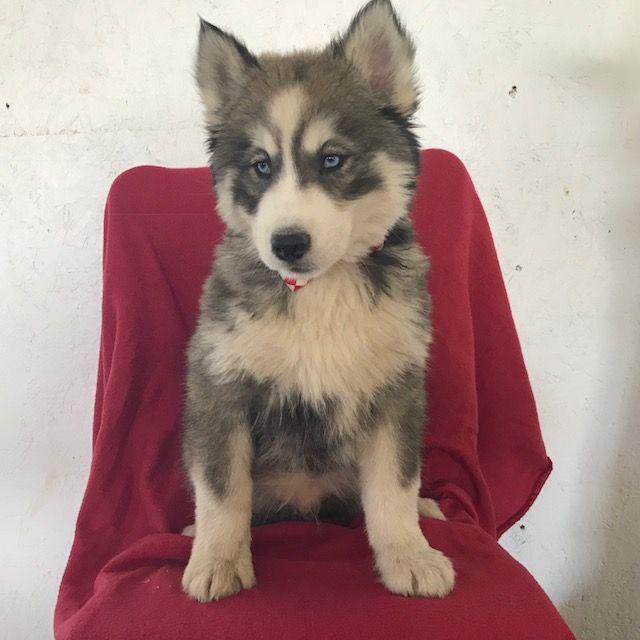 Siberian Husky Puppy For Sale In East Earl Pa Adn 64866 On