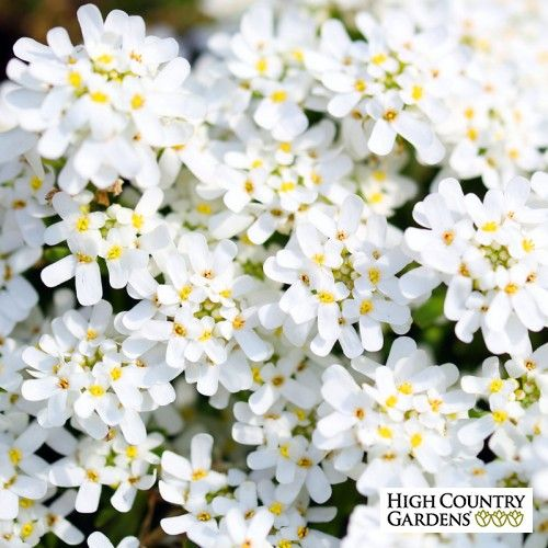 Purity Dwarf Candytuft Iberis Sempervirens Evergreen Groundcover Unique Plants