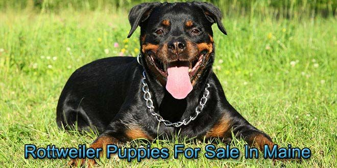 In Maine Rottweiler Puppies For Sale Rottweiler Puppies Puppies