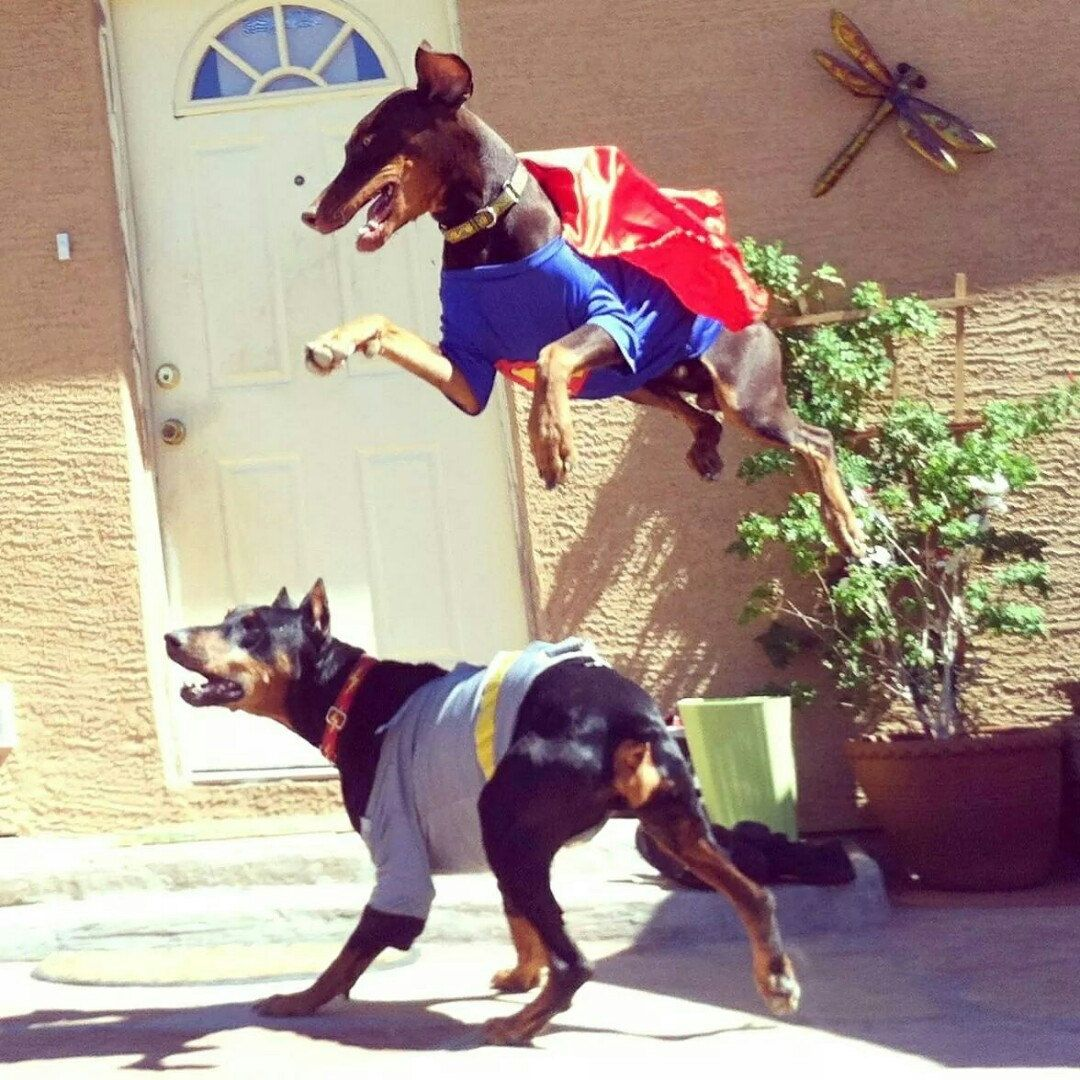 Two of our forever rescued Dobermans playing superman. Our grounded Dobie Zeus is wearing his Lightning Bolt collar.