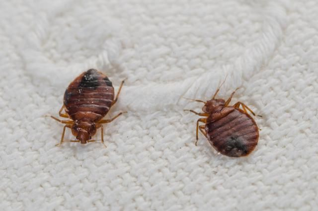 How To Wash Laundry Infested With Bedbugs With Images Bed Bug