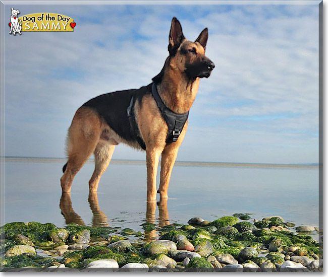 Read Sammy S Story The German Shepherd Dog From Berlin Germany