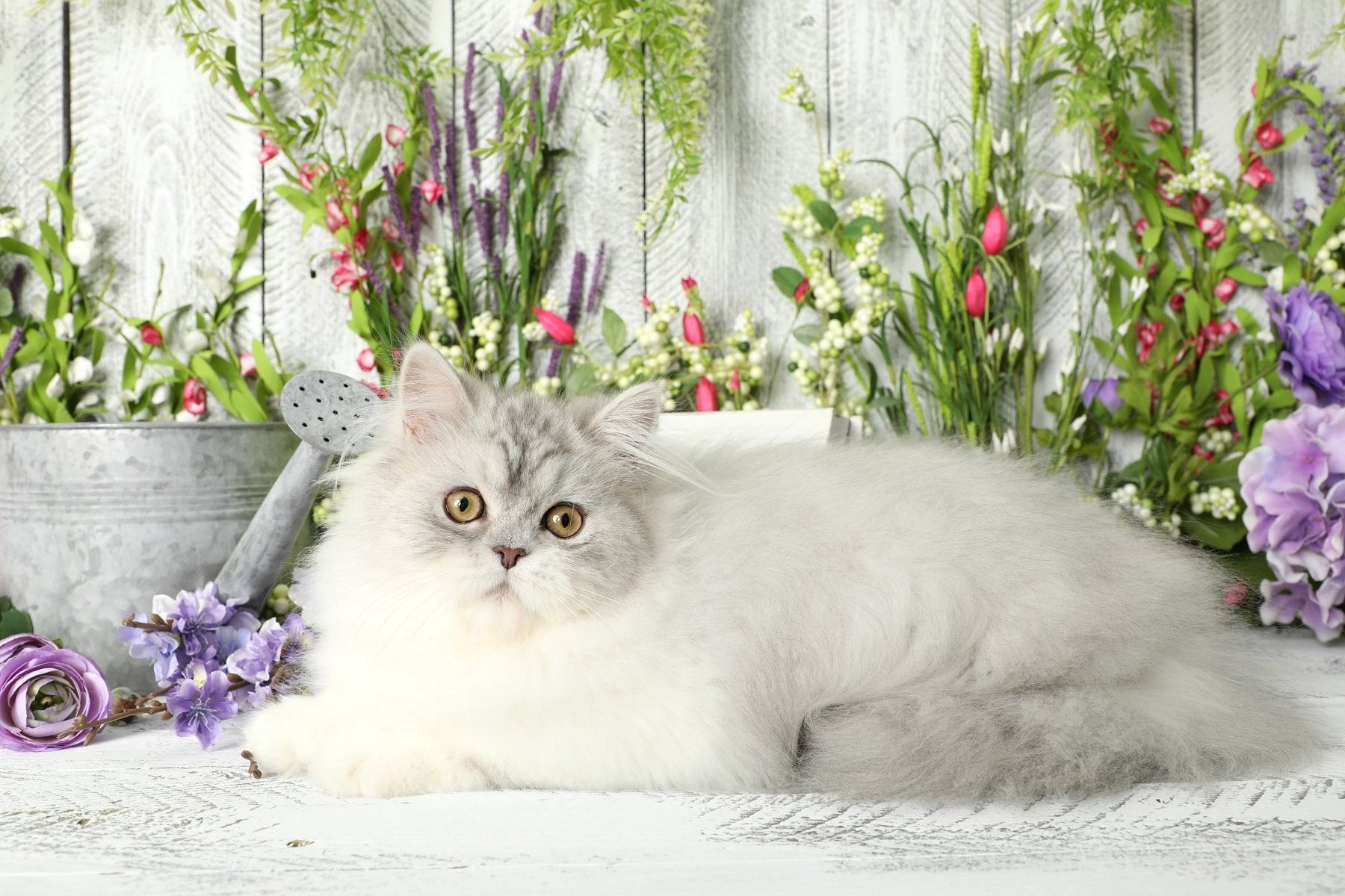 Pin by Doll Face Persian Kittens ww on Persian Kittens
