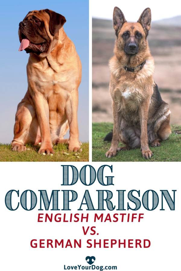 Comparison Picture Of Wolf And German Shepherd Size - Icerem