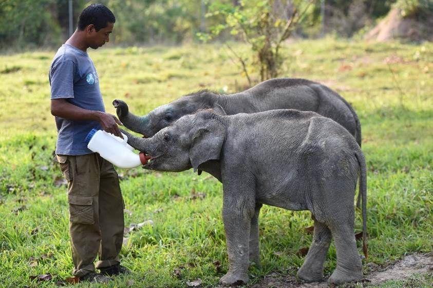 Un gardien d'animaux nourrit deux éléphanteaux au Parc national de Kaziranga dans le nord-est de l'Inde