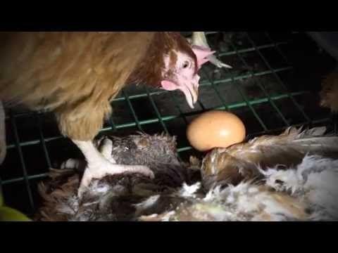 Ain : une vidéo dénonce les conditions d'élevage lamentables des poules pondeuses - Le Point